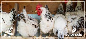 Produção de aves e comportamento do mercado no final do ano