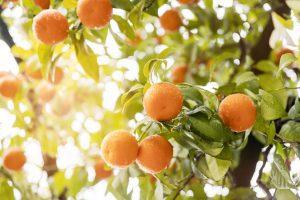 Enxertia em Fruticultura