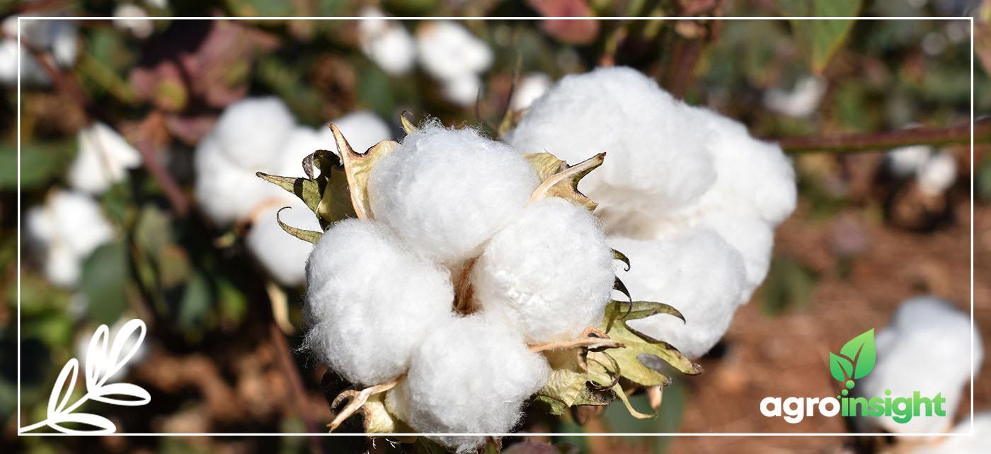 controle biológico de pragas no algodão
