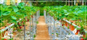 Cultivares de morangueiro e a relação com fotoperíodo e temperatura