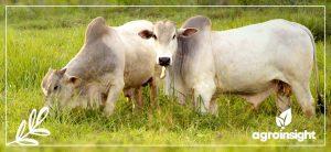 Podcast- Perspectivas para o consumo de carne bovina em 2021