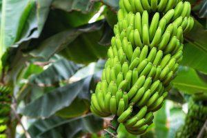 Nutrição e fertirrigação da bananeira