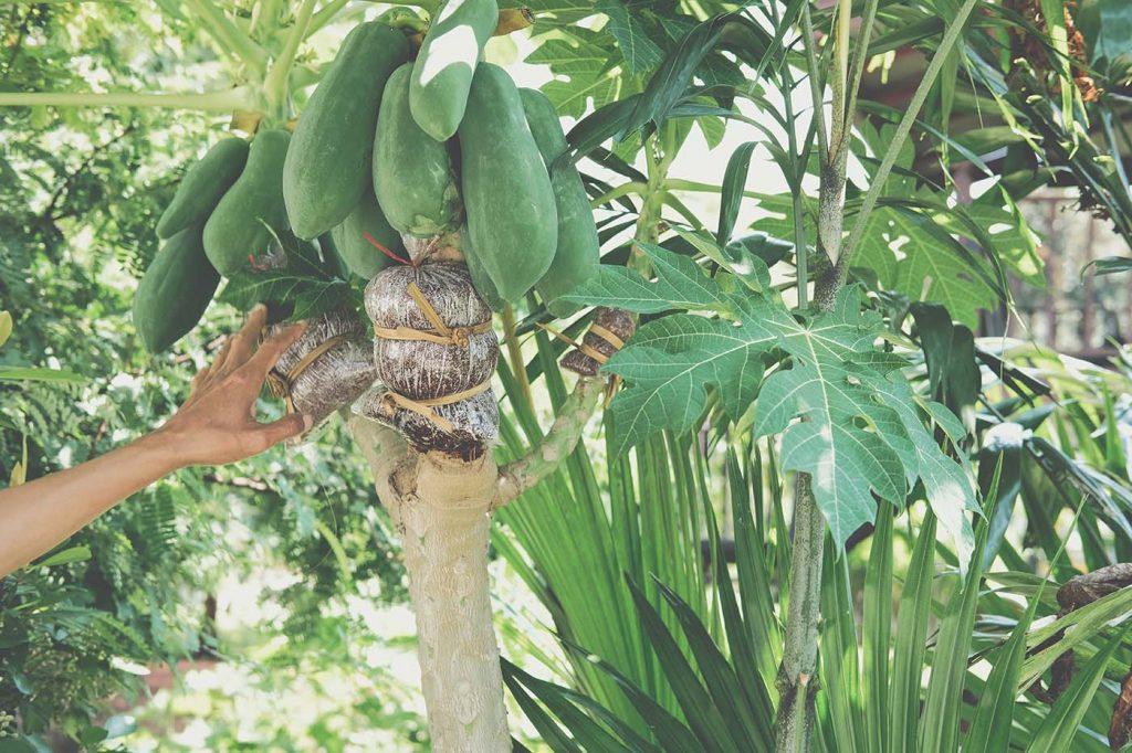 Nutrição e fertirrigação do mamoeiro